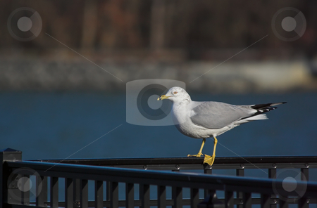 Gull on a Rail stock photo, Gull sitting on a rail at a reservoir in New Jersey by Stephen Bonk