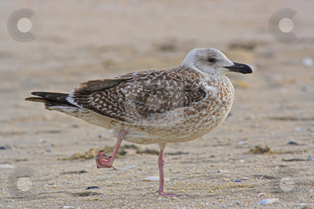 Gull With Hurt Foot stock photo, A Gull on a New Jersey Beach with an injured foot by Stephen Bonk