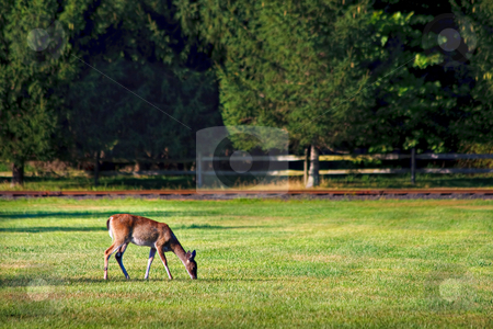 Deer in Field stock photo, A deer grazing in a grass field by Stephen Bonk