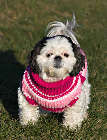 Shih Tzu in a Sweater stock photo, A white and black Shih Tzu in a pink, red, and white sweater by Stephen Bonk