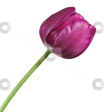 Tulip stock photo, A violet colored tulip isolated on a white background by Stephen Bonk