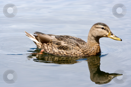 Mallard Duck stock photo, A female mallard duck and reflection in a lake by Stephen Bonk