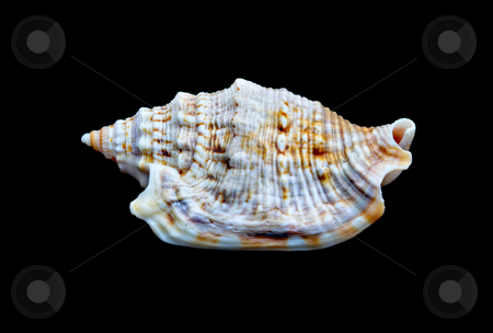 Seashell Over Black #5 stock photo, An isolated seashell over black. This is #5 in a series. by Stephen Bonk