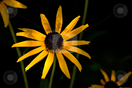 Yellow Daisy stock photo, A yellow daisy growing outdoors. The daisy is naturally dramatically lit with a dark background. by Stephen Bonk