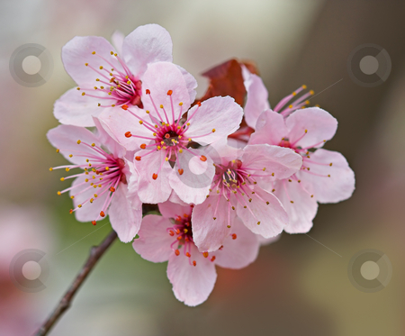 Plum Blossoms stock photo, Plum blossoms on a plum tree by Stephen Bonk