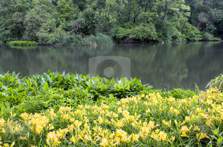 Daylilies in the park stock photo, Daylily flowers on the edge of a pond in a park by Stephen Bonk