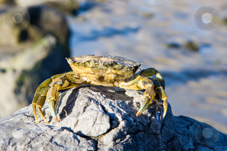 Crab on a rock stock photo, A crab on a rock at the ocean shoreline. by Stephen Bonk