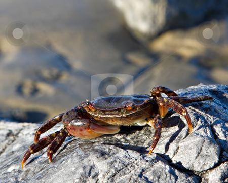 Soft Shell Crab stock photo, A soft shell crab on a rock at the beach with an out of focus sandy background. by Stephen Bonk