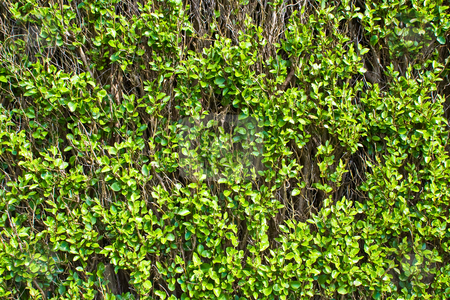 Vines stock photo, A wall of vines with green leaves by Stephen Bonk