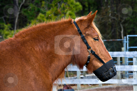 Pony Muzzle stock photo, A pony wearing a muzzle on a farm by Stephen Bonk
