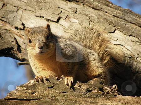 Squirrel in a Tree stock photo, Squirrel in a Tree by Dazz Lee Photography