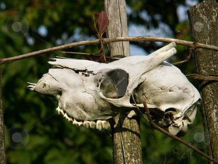 Animal skull stock photo,  by Sarka
