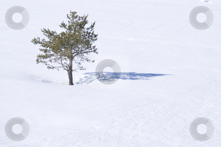 Alone stock photo, One Pin tree in a field of snow by Serge VILLA