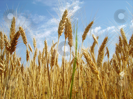 Crop Fields stock photo, A close image of a crop field with blue sky in background by Tudor Antonel adrian