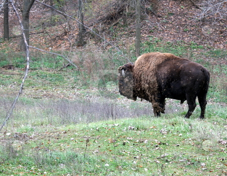 Buffalo stock photo, A buffalo or bison, in a field by Tom and Beth Pulsipher