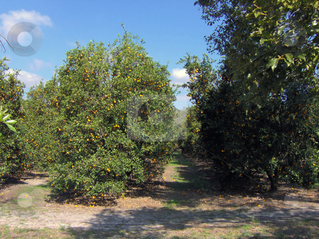 Florida Orange Grove stock photo, A huge, beautiful field of oranges in Florida. by Todd Arena