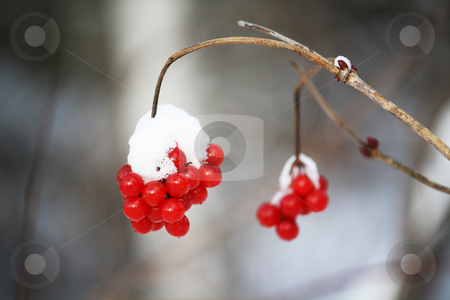 Bird berry partially covered with snow stock photo, Bird berry took in winter, partially covered in snow, took in daylight in Quebec's forest by Patrick Guenette