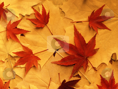 Bright colorful autumn leaves stock photo, Bright colorful autumn leaves.Shot with Mamiya RZ 67 Pro II/110mm on Fuji Velvia 50.Scanned with Minolta Dimage Scan Multi Pro at 4800 dpi and downsized in Photoshop.Unsharpened. by Ivelin Radkov