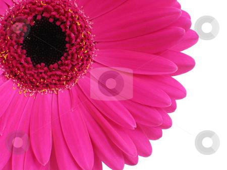 Hot Pink Gerbera stock photo, Bright pink gerbera (or Cape Daisy) focus is on petals by Helen Shorey