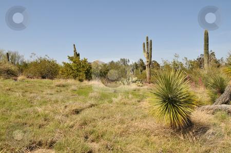 Grasslands stock photo, Desert grasslands and saguaro cactus near Phoenix, Arizona by Harris Shiffman