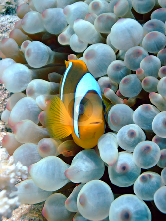 Red Sea Anemone fish stock photo,  by Cigdem Cooper