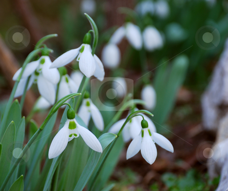 Snowdrops stock photo, Close-up of a group of snowdrops blooming by Ivan Paunovic