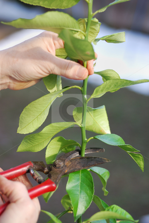 Pruning lemon tree stock photo, Pruning lemon tree in early spring. by Ivan Paunovic
