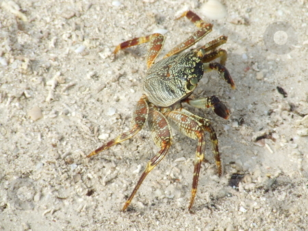 Majestic crab stock photo, Maldivian crab walking slowly on the beach in the hot tropical sun by Chris Alleaume