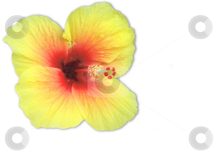 Hibiscus isolated stock photo, Yellow and red hibiscus isolated on a background by Chris Alleaume
