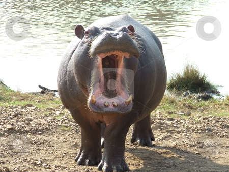 Territorial Hippo stock photo, Aggressive, territorial Hippo showing his tusks by Chris Alleaume
