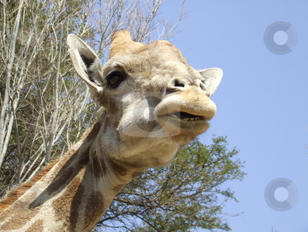 Giraffe chewing vegetation stock photo, Giraffe caught with a mouth full, eating vegetation by Chris Alleaume