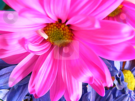 Hot Pink Daisy (Macro) stock photo, Hot Pink Daisy (Macro) by Dazz Lee Photography