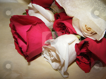 Red and White Roses stock photo, Red and White Roses by Dazz Lee Photography