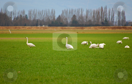 Snow Geese in Green Field stock photo, White snow geese are gathered in a green field with mountains and sky in the far background for a beautiful nature scene. by Valerie Garner