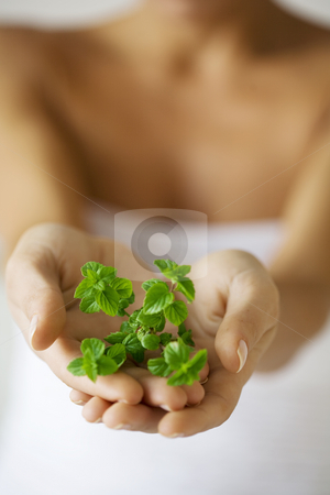 Herbs stock photo, Hands holding some green herbs out by Liv Friis-Larsen