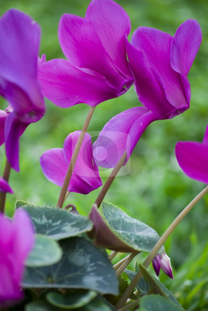 Cyclamen flower stock photo, Beautiful blooming purple cyclamen flower by Desislava Dimitrova