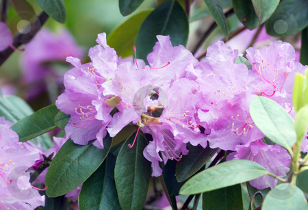 Rhododendron stock photo, Fine pink rhododendron in a garden by Pavel Cheiko