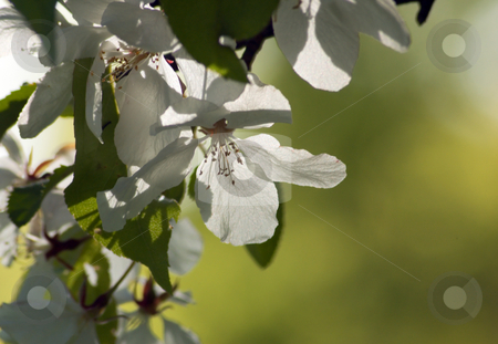 White blossom stock photo, Close up of white apple blossom. by Pavel Cheiko