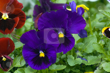 Viola stock photo, Purpure and violet flowers on green background by Pavel Cheiko