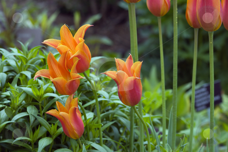 Orange tulips stock photo, Close up of orange tulips on green background by Pavel Cheiko