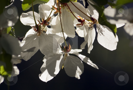 Apple blossom stock photo, Close up of white apple blossom. by Pavel Cheiko