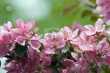 Apple blossom stock photo, Apple blossom and bee against green background by Pavel Cheiko