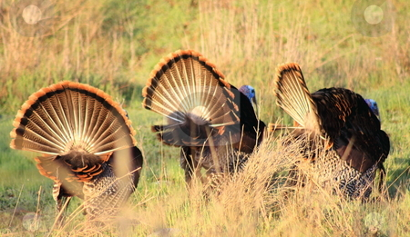 Tom Turkey Fans stock photo, Turkey Toms living wild, strutting fanning full plumage in a winter morning. by Richard Clack