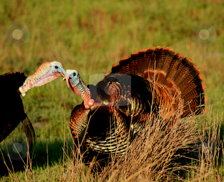Talking Turkey stock photo, Turkey Toms living wild, strutting fanning full plumage in a winter morning. by Richard Clack