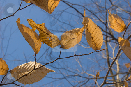 Dry leaves stock photo, Dry leaves on trees in winter on sky background. Awenda. by Pavel Cheiko
