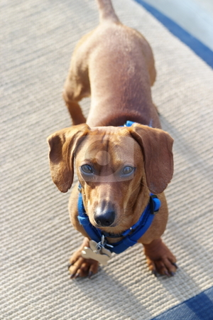 Dachshund at attention stock photo, A miniature dachshund looking up at the camera. by Kevin Woodrow