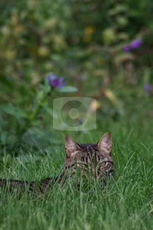 Cat stakeout stock photo, A cat hiding in the grass by Kevin Woodrow