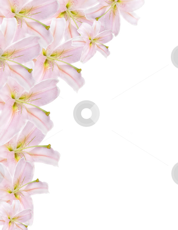 Lilium border stock photo, Pink lilium border isolated on white background by Desislava Dimitrova