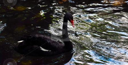 Bird on water stock photo, Black swan swimming in dark water in park by Julija Sapic