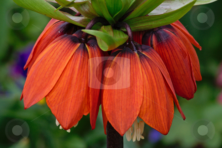 Crown imperial stock photo, Crown imperial or Kaisers Crown (Fritillaria imperialis) photographed in Frankfurt, Hessen, Germany by Manuela Schueler